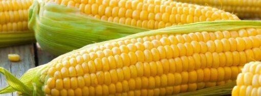 На смену «бриллиантовой» черешне: на одесском рынке начали продавать «золотую» кукурузу – фотофакт