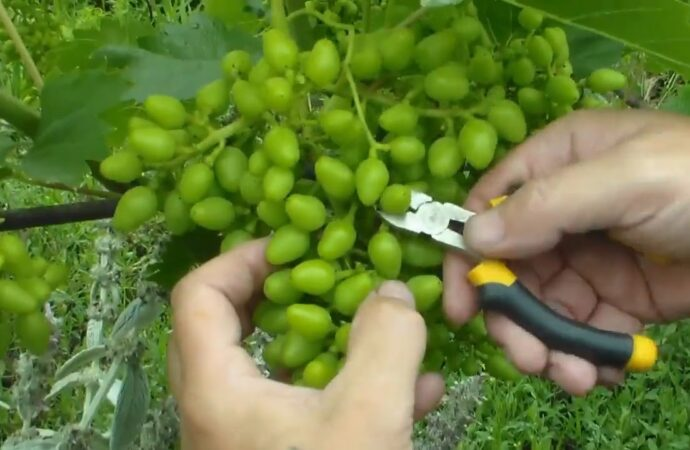 Дачные советы: как прореживать грозди?