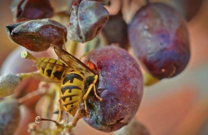 Дачные советы: как защитить виноград от ос?