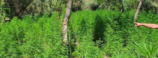 Понад 1 700 кущів: в Одеській області виявили плантацію коноплі