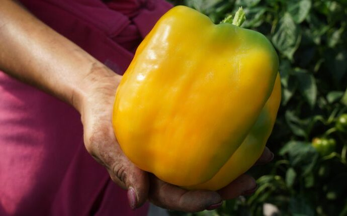 Фермеры из Одесской области вырастили гигантский перец (фото)