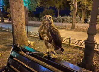 Истощена и ослаблена: как на Приморском бульваре спасали хищную птицу?