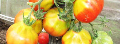 Дачные советы: причины появления желтых плечиков на томатах