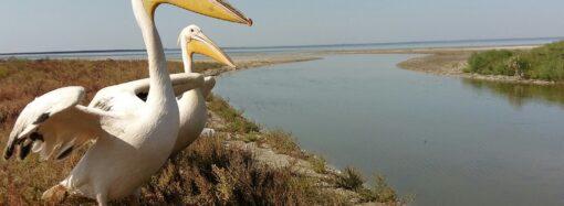 Сотрудники нацпарка в Одесской области освободили пару пеликанов из ресторанного плена (фото)