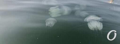 Одесский залив заполонили гигантские медузы (фото)