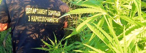 В Одесской области в плавнях обнаружили огромную планацию конопли (видео)