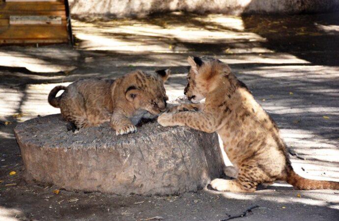 Беби-бум: в Одесском зоопарке родились зебры, венгерские быки и зелёные мартышки
