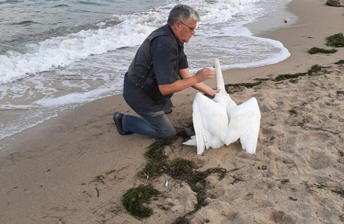 В Одессе спасли умирающего лебедя (фото)