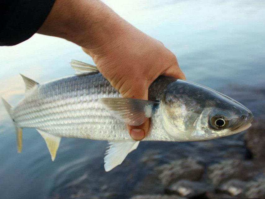 рыба, кефаль