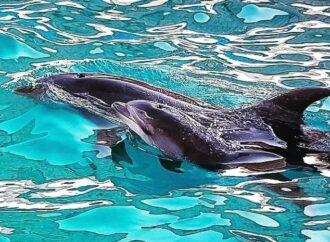 В одесском дельфинарии «Немо» родился 2-й за месяц малыш
