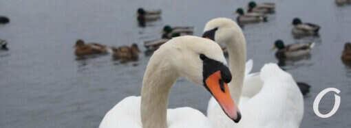 На Сухой Лиман под Одессой слетелись зимовать лебеди – фото