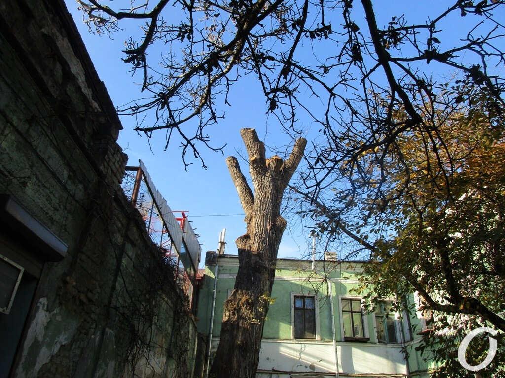 В Одессе подрезали исторический тополь
