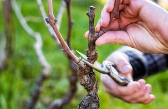 Дачные советы: осенне-зимняя обрезка винограда