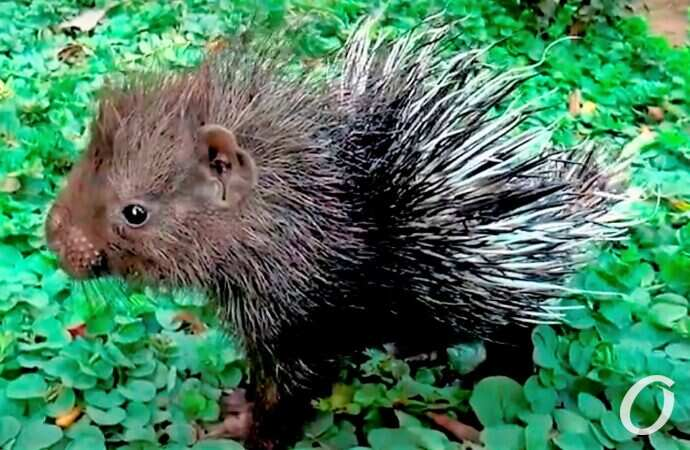 Одесский зоопарк предлагает выбрать имена для маленьких дикообразиков