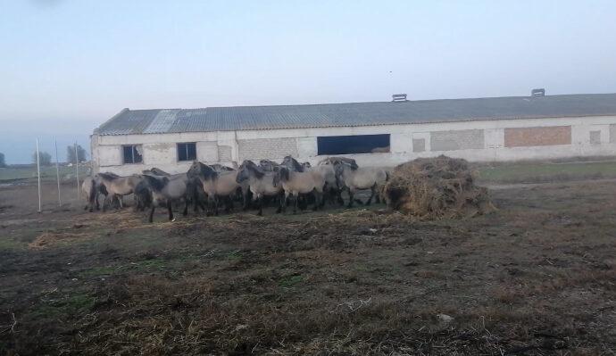 В Одесскую область завезли диких коней из Латвии (видео)