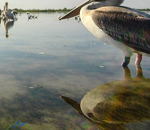 В Одесскую область прилетели кудрявые пеликаны