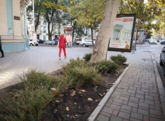 В Одессе высаживают казацкий можжевельник на Пушкинской