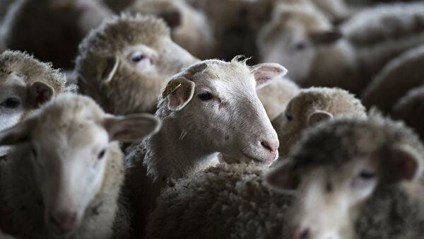 В Одесской области авто въехало в отару, погибли овцы (видео)