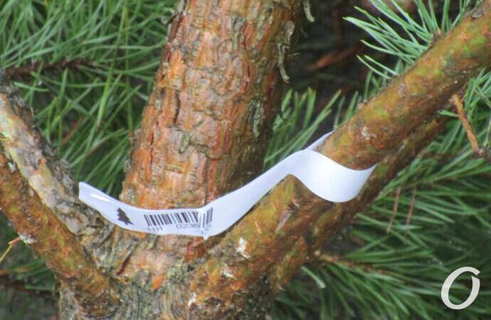 Легальная или браконьерская: как одесситам узнать, откуда ёлка?