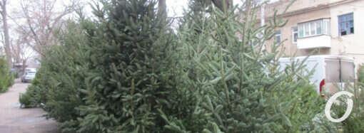 Хвойный лес у одесского Нового рынка: живой товар — на любой вкус (фото)