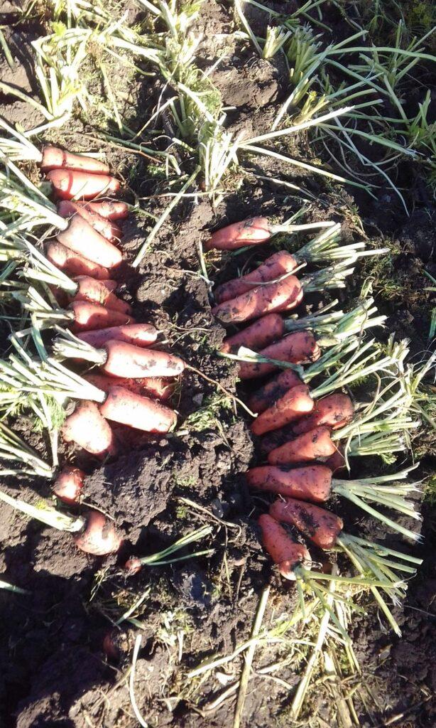 морковь орошение