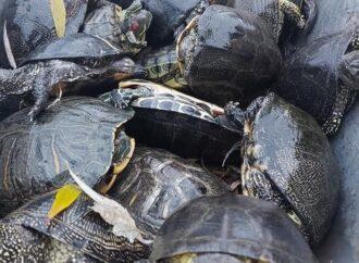 Одесский зоопарк принял на зимовку три десятка черепашек, брошенных в холодный пруд