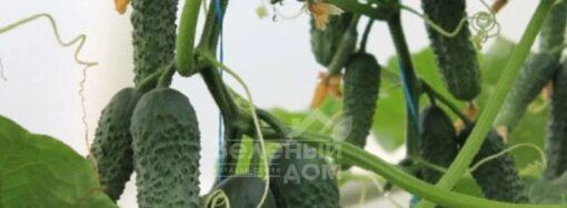Как выращивать огурцы в теплице?