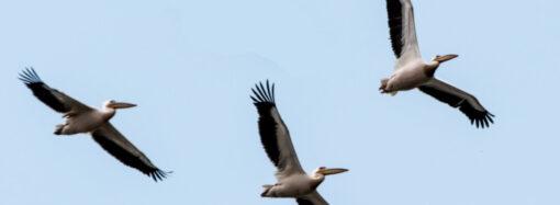 В Одесскую область вернулись розовые пеликаны