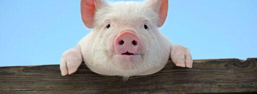 Африканская чума свиней: вспышка заболевания зафиксирована в Одесской области