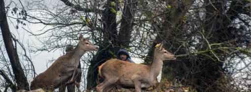 Пополнение в одесском заповеднике: на остров Ермаков завезли оленей и ланей (фото) (видео)