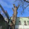 Одесский «пушкинский» тополь могут окончательно спилить? (фото)