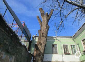 Одесский «пушкинский тополь»: в полиции не увидели преступления в уничтожении исторического дерева (документ)