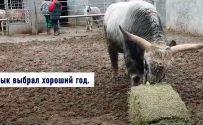 Венгерский бык из Одесского зоопарка напророчил в основном успешный год (видео)