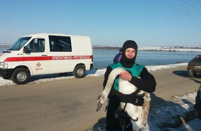 В Одесский зоопарк передали истощенного лебедя, найденного на пляже