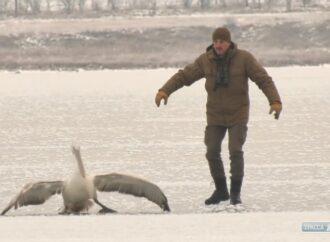 На лимане под Одессой спасли замерзающего пеликана с раненым крылом