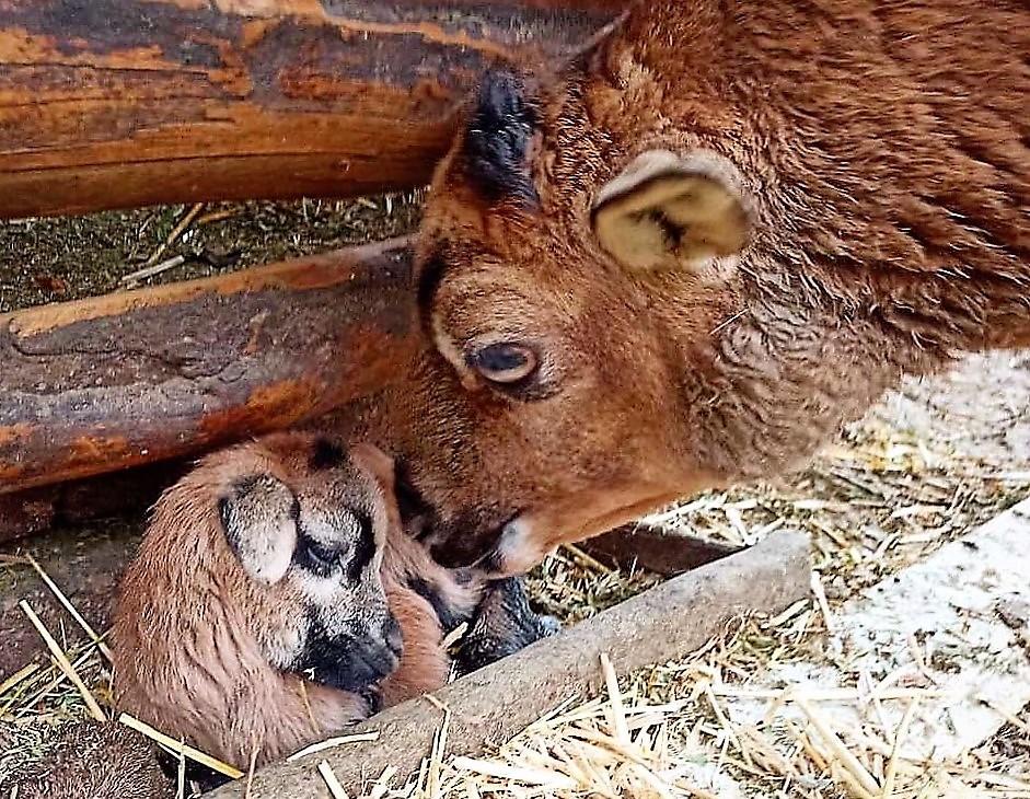 одесский зоопарк, детеныш камерунской овцы