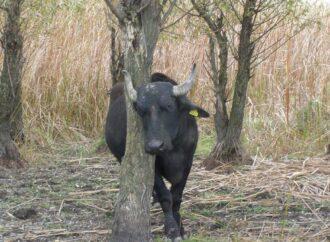 Пусть год Быка несет удачу буйволам