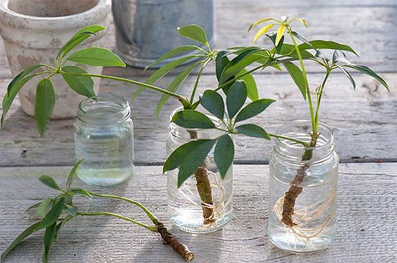черенки цветочных растений