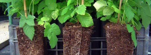 Дачные советы: о саженцах с закрытой корневой системой и черенках цветочных растений