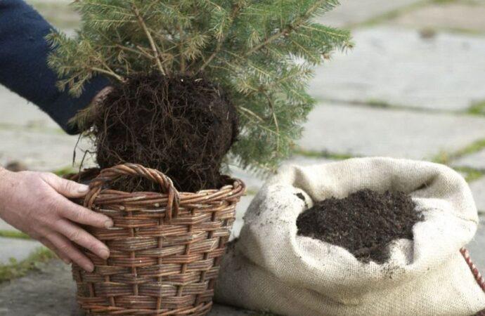 Дачные советы: храним хвойные до весны