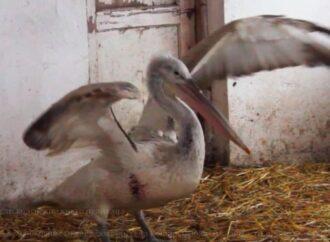 Спасенный на Тилигульском лимане редкий пеликан выжил и останется в Одесском зоопарке
