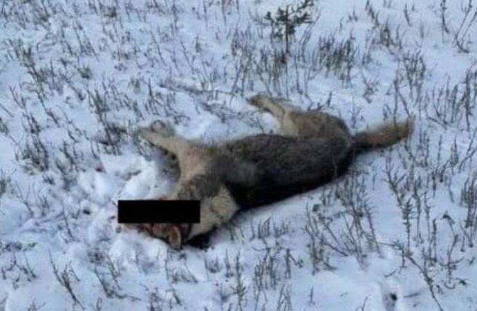 Очередное живодерство под Одессой: селянка застрелила хаски за «кражу кур»