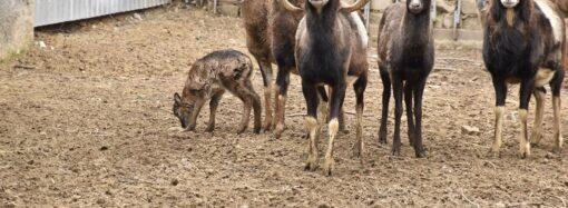 В Одесском зоопарке появились маленькие европейские муфлоны (фото)