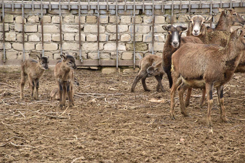 Одесский зоопарк, муфлоны