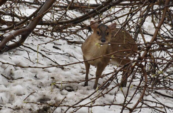 В Одесском зоопарке увидел свет детеныш редкого оленя
