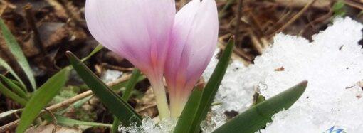 Скоро весна: на Одесчине распустились редкие первоцветы