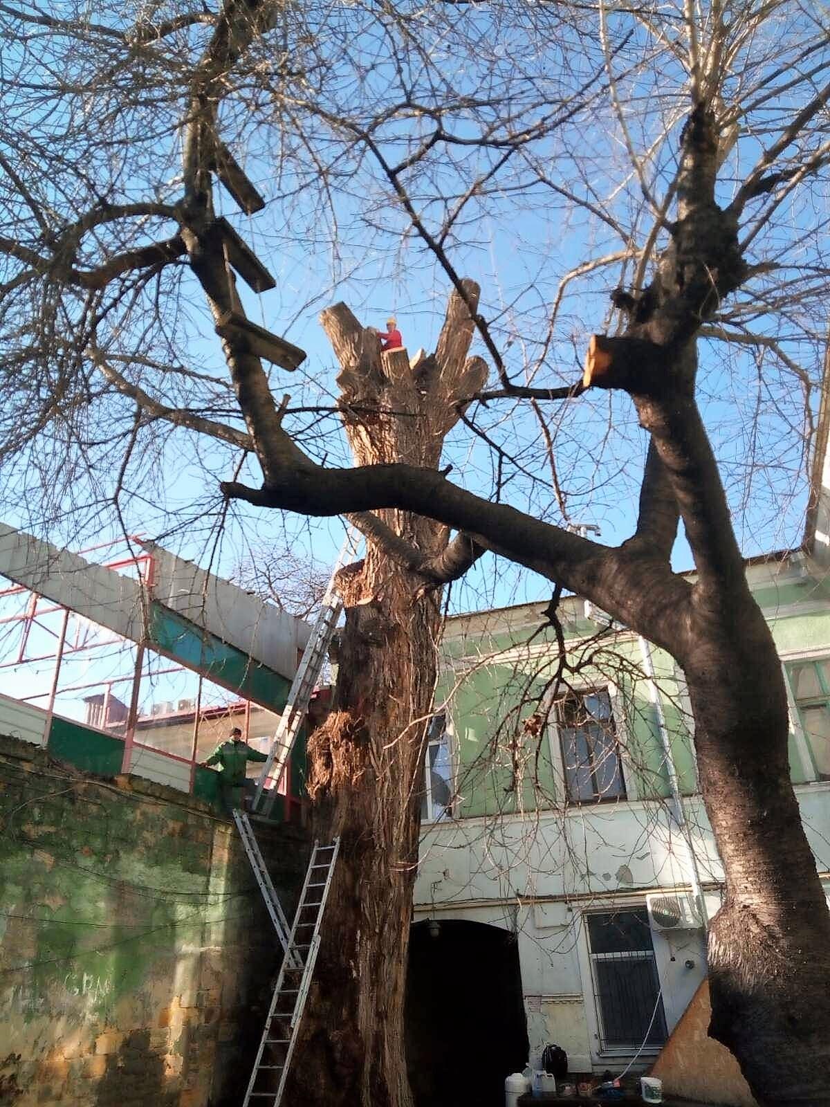 Спасение исторического дерева в Одессе