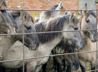 В Дунайском заповеднике ждут пополнения жеребят (фото, видео)
