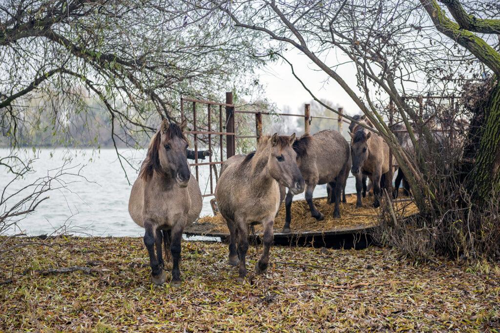 Дунайский биосферный заповедник, дикие лошади