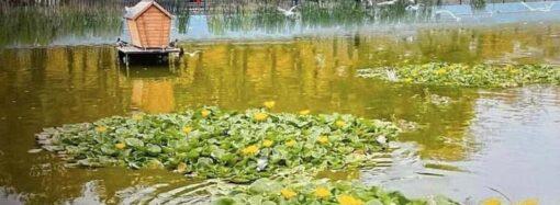 Пруды одесского парка Победы украсят кубышки и кувшинки